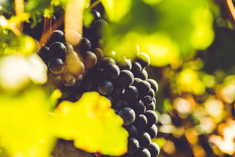 Blaufränkisch Traube - Weingut Kirchknopf