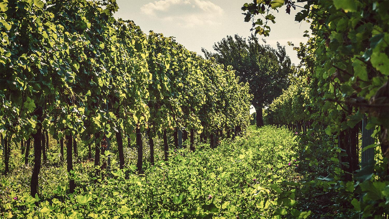 Weingarten - Weingut Kirchknopf
