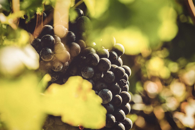 Blaufränkisch-Traube - Weingut Kirchknopf